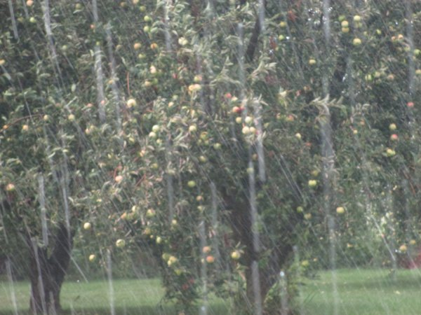 Apple Trees in the Rain